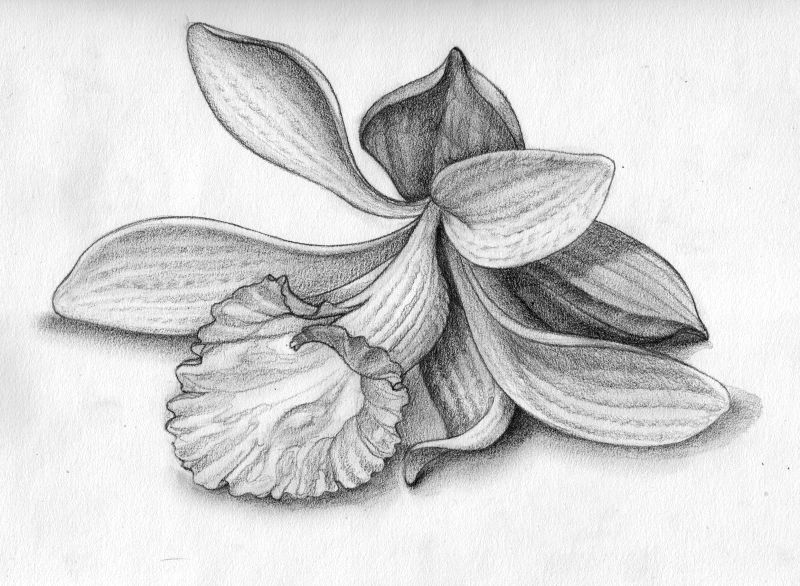 Pencil Drawings Of Orchids for Pinterest